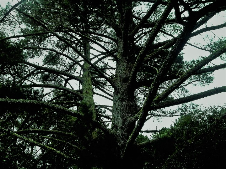 spookey tree in NZ#